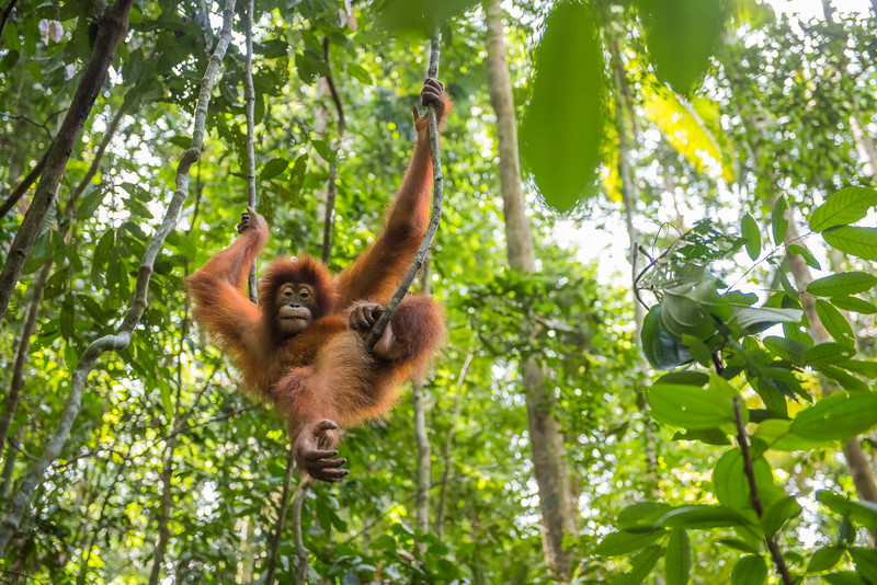 A young orangutan (Suro) out on jungle school. Before being released, orangutans need to learn several skills so they can survive better. They learn to stay up, away from the ground (where tigers may roam), what can be eaten and climbing skills. Open Orangutan Sanctuary, near Bukit Tigapuluh, Sumatra, Indonesia. © Daniel Rosengren