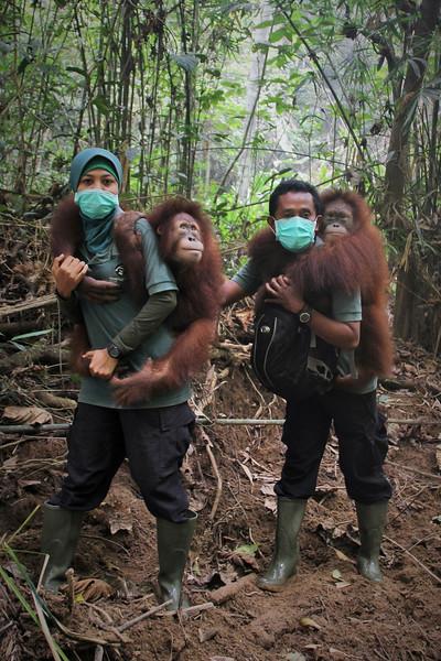Release of Orangutan Franky, Sept 2014