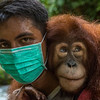 A young Orangutan, Suro, carried by trainer Kresno Handrianto (who tragically died a few days later) after a day out on Jungle School to learn how to survive in freedom. Orangutans are taken care of from illegal lives in captivity to be set free in Bukit Tigapuluh. At the Field station at Open Orangutan Sanctuary, near Bukit Tigapuluh, Sumatra, Indonesia. © Daniel Rosengren