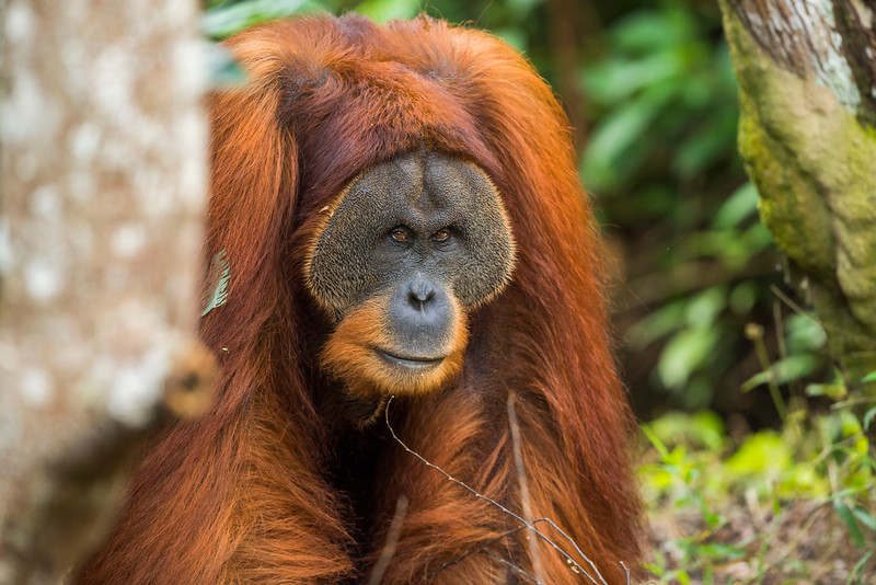 Win Gayo is the big adult male orangutan around the SORC station. He is one of about 160 orangutans that has been released into the wild by the FZS led programme. It is the most successful programme of its kind. Sumatra, Indonesia. © Daniel Rosengren