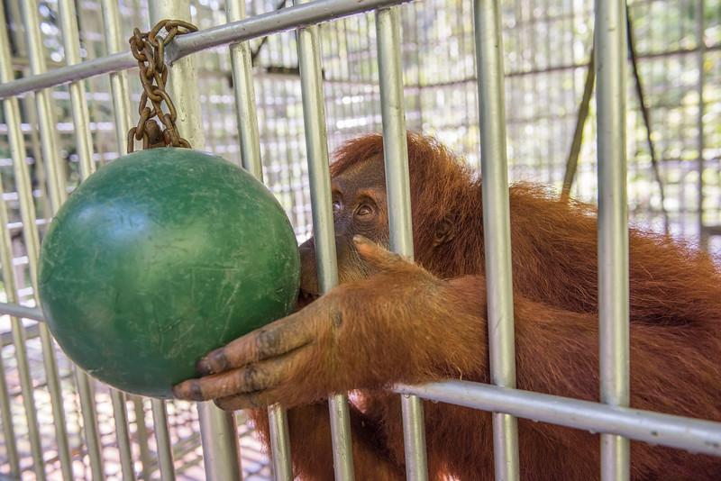 This orangutan, Nyaru, came to the OOS from Perth Zoo on 11th of May, 2016. After some time getting habituated and trained he will be released into the wild. OOS, Sumatra, Indonesia. © Daniel Rosengren