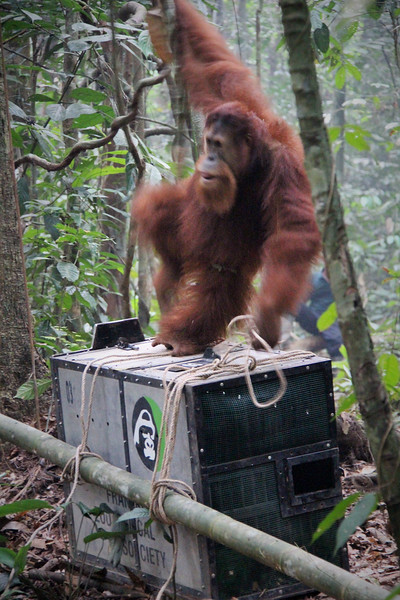 Release of Orangutan Franky, Sept 2014