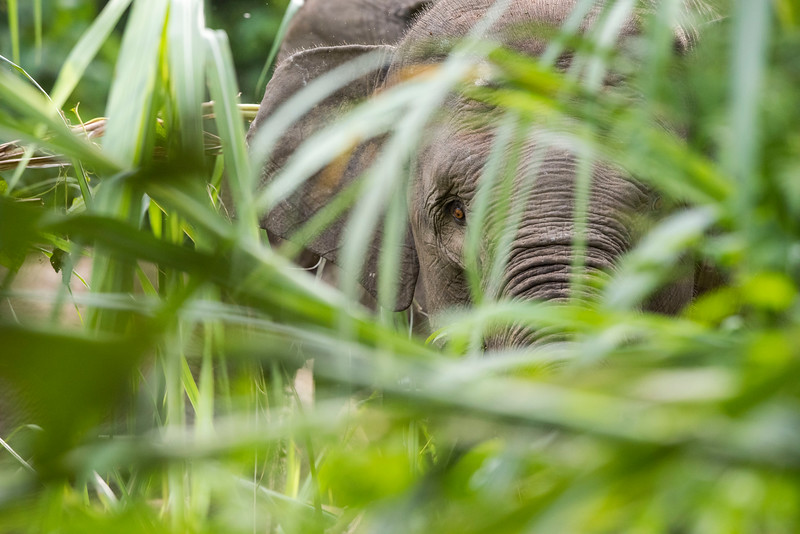 The Sumatran Elephant is the smallest sub-species of the Asian Elephant and is listed by the IUCN as Critically Endangered. As the habitat of these elephants is shrinking rapidly, these animals have less natural habitat to live in. Near Bukit Tigapuluh, Sumatra, Indonesia. © Daniel Rosengren
