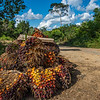 The fruits of the Oil Palm waiting to be picked up by a truck. Near Bukit Tigapuluh, Sumatra, Indonesia. © Daniel Rosengren