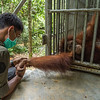 An orangutan, Dora, enjoying contact with a person, Kresno Handrianto (who died tragically a few days later), outside of the cage at the Field station at Open Orangutan Sanctuary, near Bukit Tigapuluh, Sumatra, Indonesia. © Daniel Rosengren