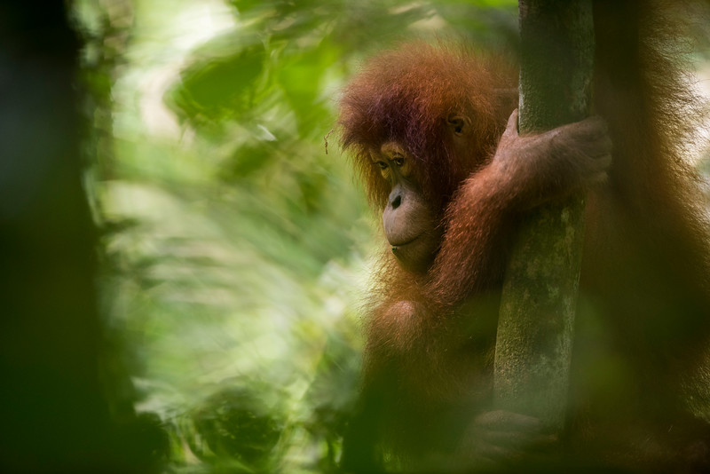 A young orangutan (Suro) out on Jungle School at the OOS station, Bukit Tigapuluh, Sumatra, Indonesia. © Daniel Rosengren