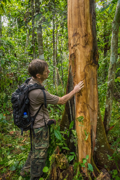 Alexander Mossbrucker discovering fresh evidence of the elephants' presence, bark has been ripped off the tree and impression marks from the tusks are clearly visible.