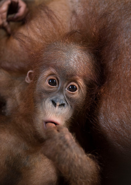 This baby orangutan, Sule, was born at the Field station at Open Orangutan Sanctuary, near Bukit Tigapuluh, Sumatra, Indonesia. © Daniel Rosengren