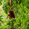 A young orangutan (Dora) out on Jungle School at the OOS station, Bukit Tigapuluh, Sumatra, Indonesia. © Daniel Rosengren