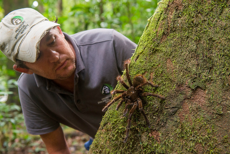 """The Goliath Birdeater (Theraphosa blondi), is a tarantula species and the largest (by body size and mass) spider in the world (this individual is medium to small in size). The name """"birdeater"""" is misguiding as this spider rarely feeds on birds. Here it is posing with project leader Thadaigh Baggallay. Kanuku Mountains Protected Area, Guyana. © Daniel Rosengren"""
