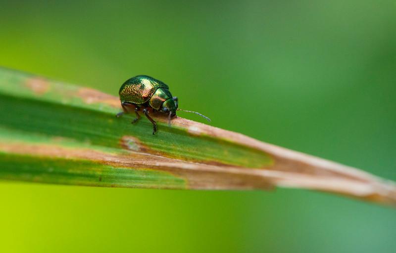 A shiny beetle in Mahale NP