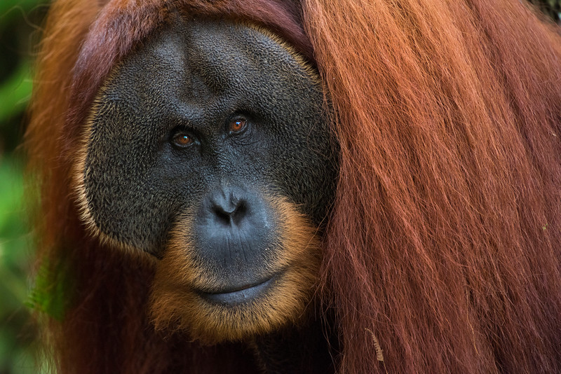 An adult male orangutan (Win Gayo) at the SORC station, Bukit Tigapuluh, Sumatra, Indonesia. © Daniel Rosengren