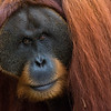 An adult male orangutan (Win Gayo) at the SORC station, Bukit Tigapuluh, Sumatra, Indonesia. © Daniel Rosengren