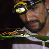 Project leader Claus Garcia and a giant cricket in Yaguas, Peru. © Daniel Rosengren / FZS