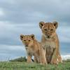 Lion cubs from in the Vumbi Kidogo pride.Serengeti NP, Tanzania. © Daniel Rosengren