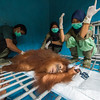 Andhani Widya (right; FZS veterinarian) and Riris Prawesti (middle; SORC Database Manager and Veterinary trainee) performing a surgery on the orangutan Bumbu Nigahatua. She had an swollen wound on her neck, that risked getting infected, caused by a parasitical larva. The larva was successfully removed and wound treated and stitched together. At the Sumatran Orangutan Rescue Centre, near Bukit Tigapuluh, Sumatra, Indonesia. © Daniel Rosengren