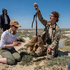 Project manager Steffen Zuther and Katharina Hensen taking measurements of a Saiga calf. Kazakhstan. © Daniel Rosengren