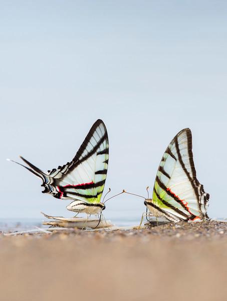 Two butterflies licking minerals from fish leftovers near Yaguas, Peru. © Daniel Rosengren