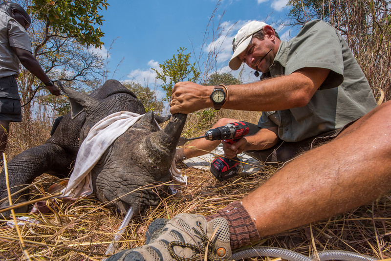 An immobilised Black Rhino being handled by Markus Hofmeyr, Natasha Anderson and David Squarre in North Luangwa National Park, Zambia. The rhino was fitted with a radio transmitter in the horn by Ed Sayer. © Daniel Rosengren