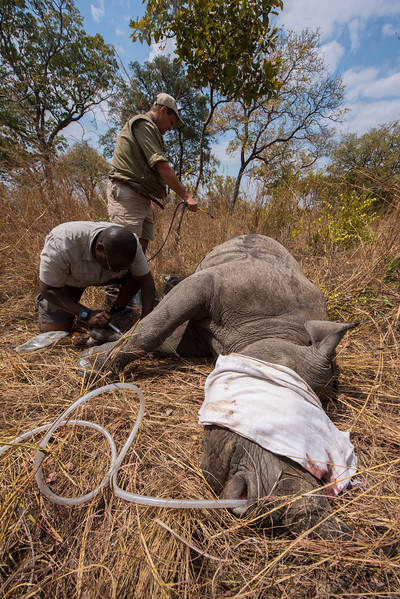 An immobilised Black Rhino being handled by Markus Hofmeyr and David Squarre in North Luangwa National Park, Zambia. The rhino was fitted with a readi transmitter and an ID chip. © Daniel Rosengren