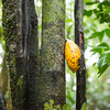 Cocoa fruit growing wild in the Yaguas, Peru. © Daniel Rosengren