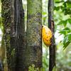 Cocoa fruit growing wild in the Yaguas, Peru. © Daniel Rosengren