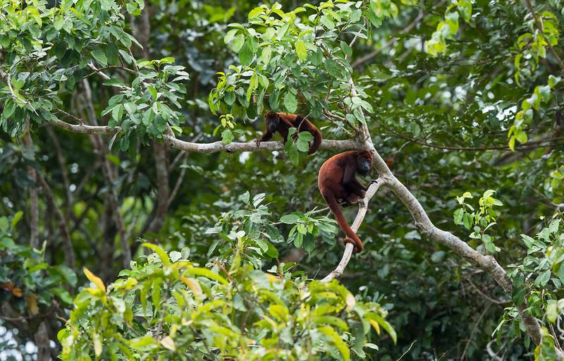 Red Howler Monkeys in Yaguas, Peru. © Daniel Rosengren