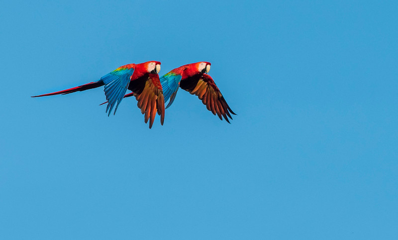 Red-and-green macaws flying over Manu NP, Peru. © Daniel Rosengren / FZS