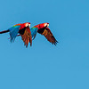 Red-and-green macaws flying over Manu NP, Peru. © Daniel Rosengren