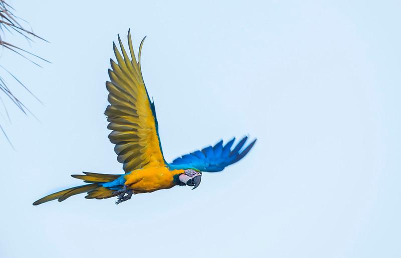 Blue-and-yellow Macaw flying over the Pampas del Heath, Bahuaja Sonene NP, Peru. © Daniel Rosengren