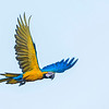 Blue-and-yellow Macaw flying over the Pampas del Heath, Bahuaja Sonene NP, Peru. © Daniel Rosengren