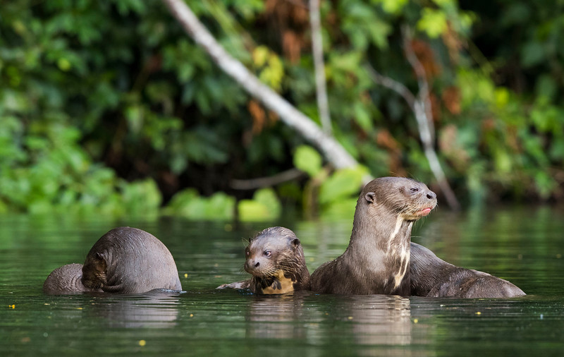 The Giant Otter is the largest mustelid in the world and inhabits the Amazon and live in small groups. Cocha Salvador, Manu NP, Peru. © Daniel Rosengren