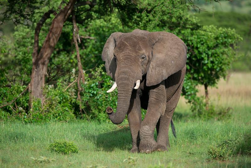 An Elephant in Fort Ikoma, Tanzania. © Daniel Rosengren