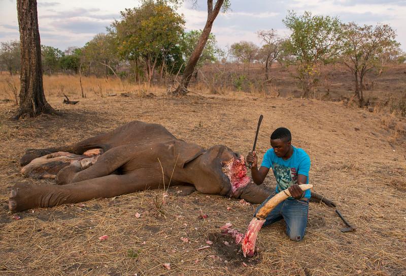 Dead elephant