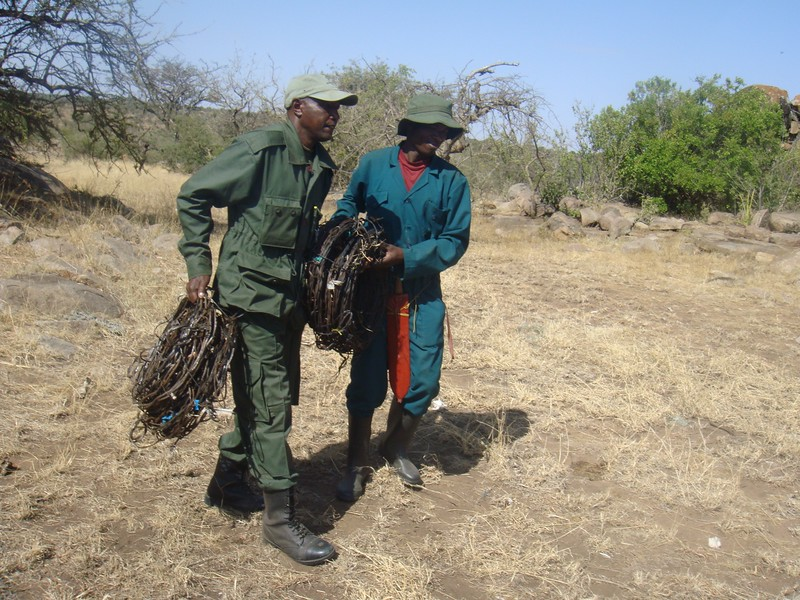 ; Serengeti De-Snaring Project,  2017 / Ranger and team member of de-snaring team collecting wire snares