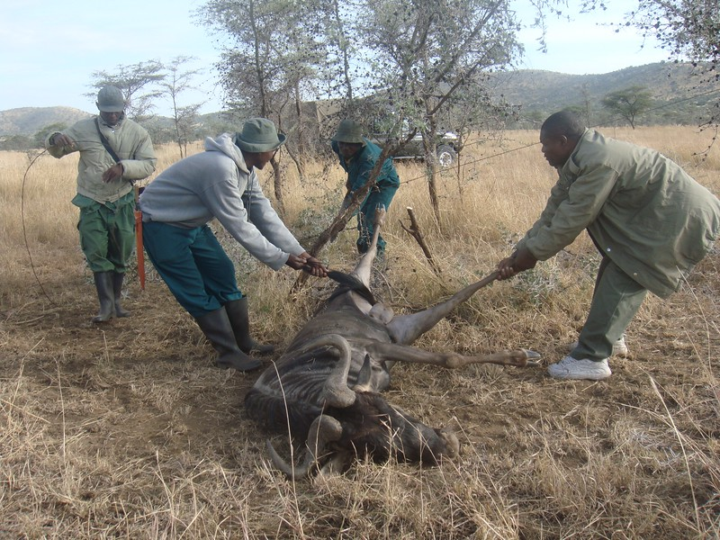 Serengeti De-Snaring Project, 2017 / TEam trying to rescue a wildebeest trapped in a wire snare set by poachers
