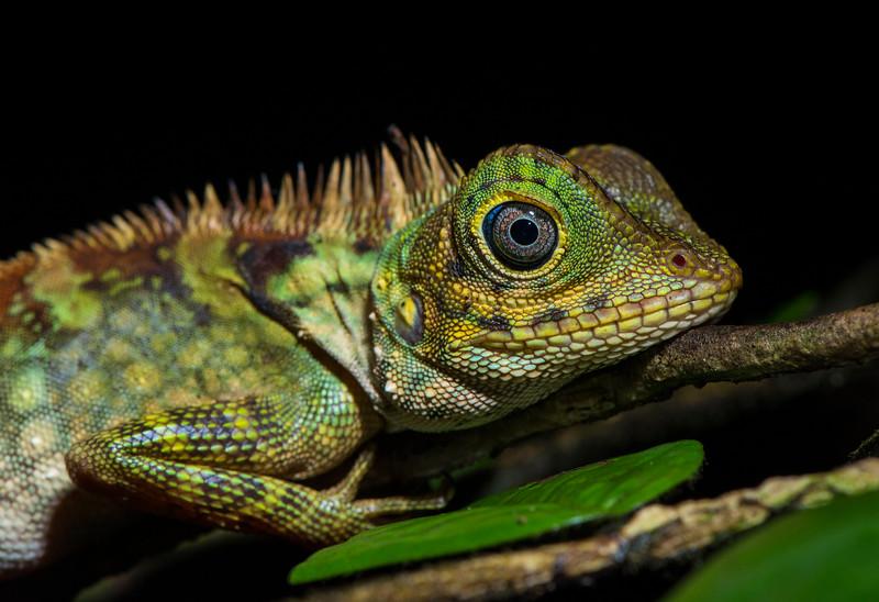 Boulenger's Tree Agama (Dendragama boulengeri) is a lizard endemic to Sumatra. Photographed near the Open Orangutan Sanctuary, near Bukit Tigapuluh, Sumatra, Indonesia. © Daniel Rosengren / FZS