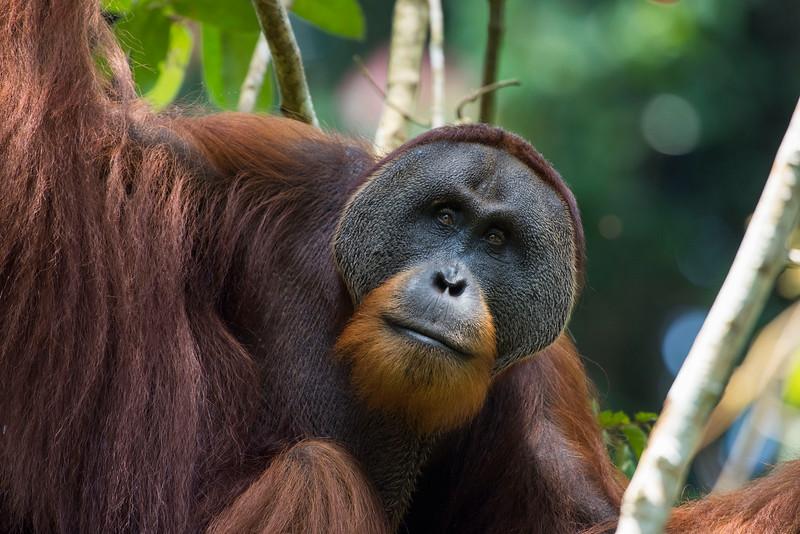 An adult male orangutan (Win Gayo) at the SORC station, Bukit Tigapuluh, Sumatra, Indonesia. © Daniel Rosengren / FZS
