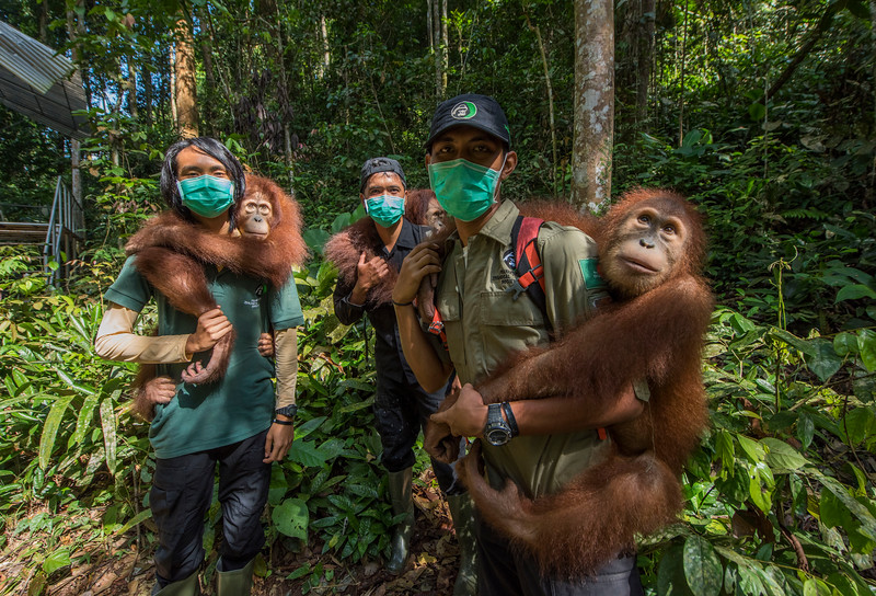 Young Orangutans (from left: Suro, Dora and Amoy) out on Jungle School to learn how to survive in freedom. Orangutans are taken care of from illegal lives in captivity to be set free in Bukit Tigapuluh. The trainers are from left: Fabianus Sinaga, Andri Safrianto (orangutan technician), and Kresno Handrianto. At the Field station at Open Orangutan Sanctuary, near Bukit Tigapuluh, Sumatra, Indonesia. © Daniel Rosengren / FZS