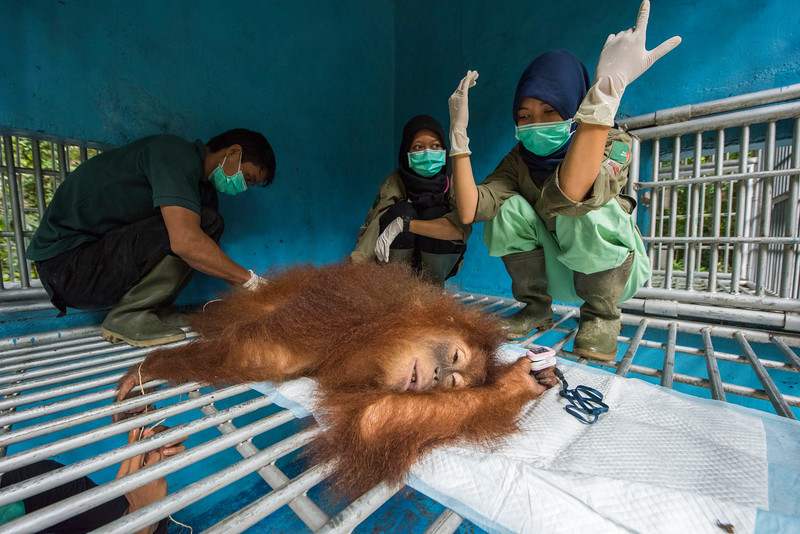 Andhani Widya (right; FZS veterinarian) and Riris Prawesti (middle; SORC Database Manager and Veterinary trainee) performing a surgery on the orangutan Bumbu Nigahatua. She had an swollen wound on her neck, that risked getting infected, caused by a parasitical larva. The larva was successfully removed and wound treated and stitched together. At the Sumatran Orangutan Rescue Centre, near Bukit Tigapuluh, Sumatra, Indonesia. © Daniel Rosengren / FZS