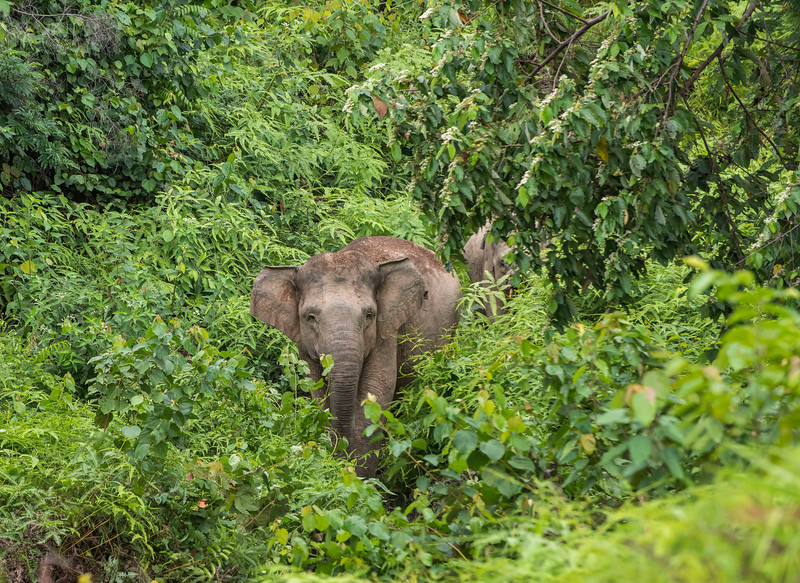 The Sumatran Elephant is the smallest sub-species of the Asian Elephant and is listed by the IUCN as Critically Endangered. As the habitat of these elephants is shrinking rapidly, these animals have less natural habitat to live in. Near Bukit Tigapuluh, Sumatra, Indonesia. © Daniel Rosengren / FZS