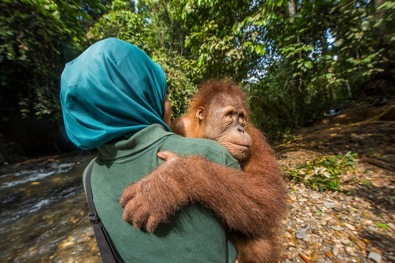 A young orangutan (Kedaung) carried out by trainer Siti Fatimazzahra to jungle school. Before being released, orangutans need to learn several skills so they can survive better. They learn to stay up, away from the ground (where tigers may roam), what can be eaten and climbing skills. Open Orangutan Sanctuary, near Bukit Tigapuluh, Sumatra, Indonesia. © Daniel Rosengren / FZS