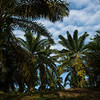 An oil palm plantation. The fruits are used to extract oil for the food industry. This industry is causing great habitat losses for the Sumatran wildlife as huge areas of rainforest is cut down to make room for palm plantations. Near Bukit Tigapuluh, Sumatra, Indonesia. © Daniel Rosengren / FZS
