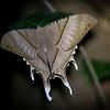 A Moth in Kon Ka Kinh NP, Vietnam. © Daniel Rosengren / FZS