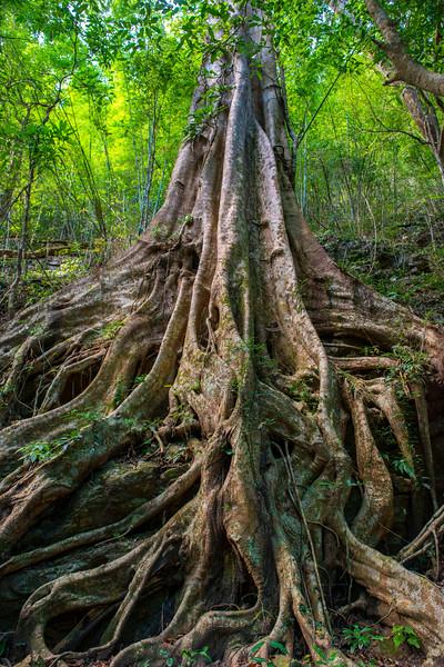 The roots of a Fig tree. Kon Ka Kinh NP, Vietnam. © Daniel Rosengren / FZS