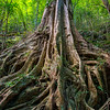The roots of a Fig tree. Kon Ka Kinh NP, Vietnam. © Daniel Rosengren / FZS