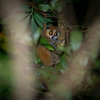A Dwarf Slow Loris at night in Kon Ka Kinh NP, Vietnam. © Daniel Rosengren / FZS