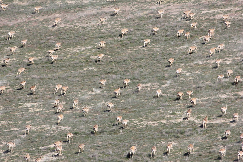 Saiga herds as seen from the helicopter during the census 2016<br /> © Timoshenko