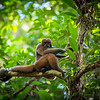 A Brown Woolly Monkey in Chiribiquete National Park, Colombia. © Daniel Rosengren / FZS