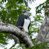 A female Harpy Eagle sitting in a Ceiba tree in Kanuku Mountains Protected Area, Guyana. © Daniel Rosengren / FZS